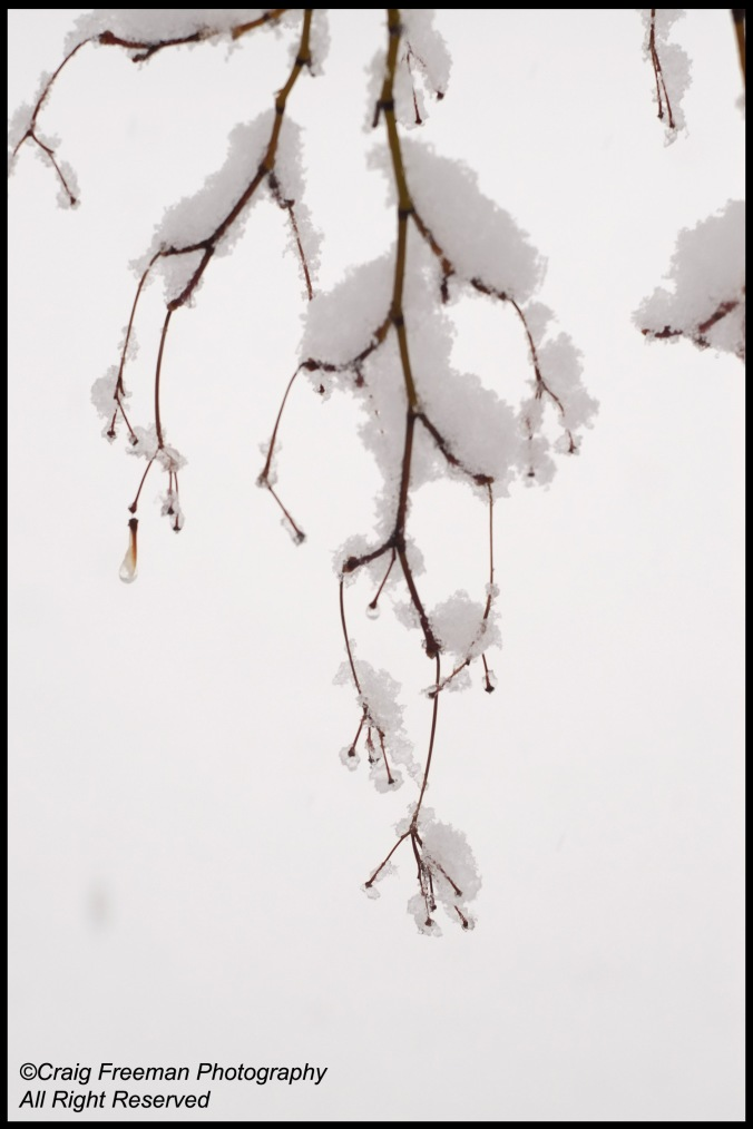 SnowMaple2